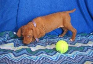 Friendly Vizsla puppies for sale FOR SALE ADOPTION