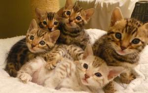 Gorgeous Bengal kittens available FOR SALE ADOPTION