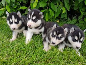 HOME RAISED MALE AND FEMALE HUSKY PUPPIES FOR SALE ADOPTION