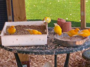 Male Canaries FOR SALE ADOPTION