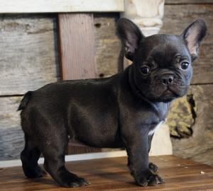 lovely french bulldog puppies for sale FOR SALE ADOPTION