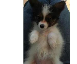 2 Male Papillon Puppies For Sale FOR SALE ADOPTION
