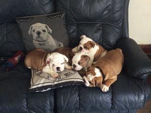 Adorable English Bulldog Puppies for adoption FOR SALE ADOPTION
