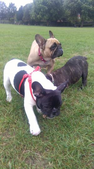 OUTSTANDING FRENCH BULLDOGS READY FOR NEW HOMES FOR SALE ADOPTION