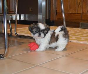 registered Shih Tzu Puppies FOR SALE ADOPTION