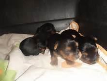 9 week old Yorkie puppies