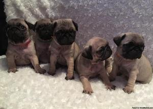 Beautiful KC Reg Pug Puppies Can Deliver Please Ask