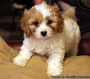 KC Cavalier King Charles Spaniels for Rehoming.