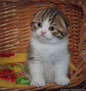 Pedigree Registered Scottish Fold Kittens