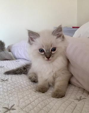 Adorable RAGDOLL KITTENS FOR SALE ADOPTION