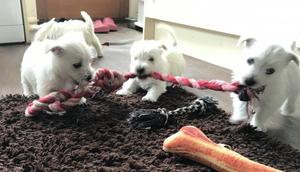 Beautiful West Highland Terrier Puppies FOR SALE ADOPTION