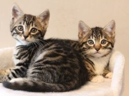 Cute Bengal kittens Available FOR SALE ADOPTION