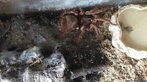 Goliath birdeater, with Tank