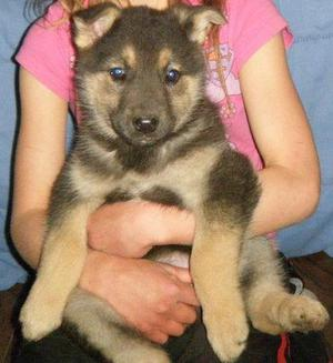 Blue Line German Shepard Pups FOR SALE ADOPTION