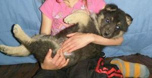 German Shepard Dog FOR SALE ADOPTION