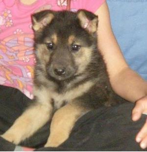 German Shepherd Pups Girls Only FOR SALE ADOPTION