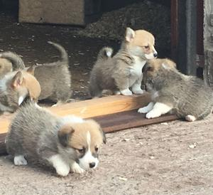Gorgeous Pembroke Corgi Pups for adoption FOR SALE ADOPTION
