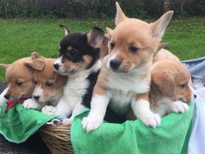 Healthy Pembroke Welsh Corgi Puppies FOR SALE ADOPTION
