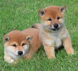 Healthy Shiba Inu puppies ready for adoption FOR SALE ADOPTION