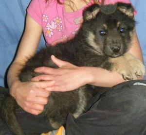 Kc Registered German Shepherd Puppies For Sale FOR SALE ADOPTION