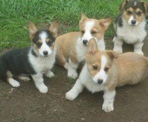 Pembroke Welsh Corgi Puppies For Homes FOR SALE ADOPTION
