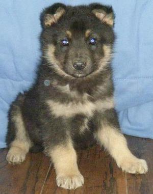 Stunning Big Bone German Shepherd Pups For Sale FOR SALE ADOPTION