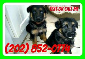 german Shepherd Female Pups For Sale FOR SALE ADOPTION