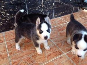 Male and female pomsky puppies We only breed for quality FOR SALE ADOPTION