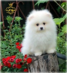 Tea Cup Pomeranian Puppies Available Now FOR SALE ADOPTION