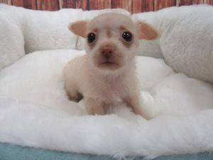 Chihuahua Puppy ready for a new home FOR SALE ADOPTION