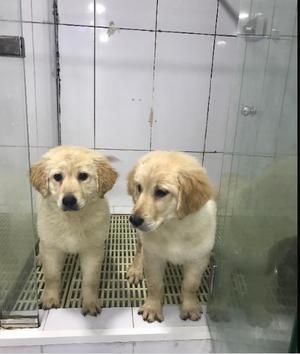 Golden Retriever puppy for a new home FOR SALE ADOPTION