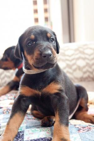 ADORABLE DOBERMAN PUPPIES AVAILABLE FOR LOVELY RE HOMING FOR SALE ADOPTION