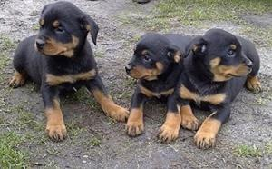 Rottweiler puppies ready for Forever Homes now FOR SALE ADOPTION