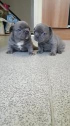 Stunning Blue French bulldog puppies available now FOR SALE ADOPTION