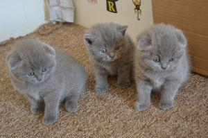 Active And Amazing Scottish Fold Kittens Available FOR SALE ADOPTION
