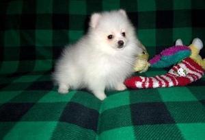 Beautiful Pomeranian puppies FOR SALE ADOPTION