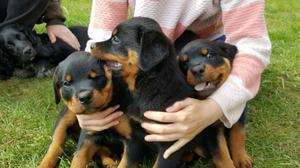 ROTTWEILLER PUPPIES AVAILABLE FOR LOVELY HOMES FOR SALE ADOPTION