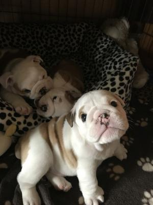 l health papers TOP QUALITIES ENGLISH BULLDOG PUPPIES AVAILABLE FOR LOVELY HOMES FOR SALE ADOPTION