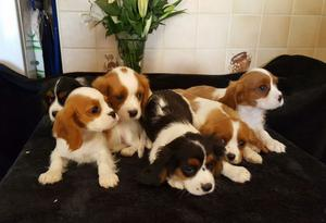 Cavalier King Charles Spaniel puppies available now FOR SALE ADOPTION