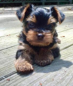TEACUP RUSSLEWEST COAST YORKSHIRE TERRIER PUPPY FOR SALE ADOPTION