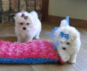 Adorable outstanding Maltese puppies Text  FOR SALE ADOPTION