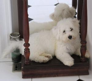 Bichon Frise puppies available FOR SALE ADOPTION
