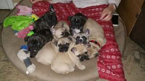FOUR FRENCH BULLDOG PUPPIES READY FOR YOU FOR SALE ADOPTION