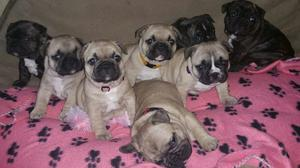 FOUR FRENCH BULLDOG PUPPIES READY FOR YOU TEXT  FOR SALE ADOPTION