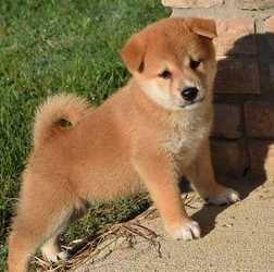 Purebred Shiba Inu puppies Champion Blood Lines FOR SALE ADOPTION