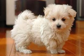 Super Adorable Teacup Maltese Puppies Text  FOR SALE ADOPTION