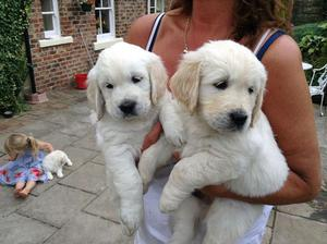 Golden Retrievers Puppies for Adoption FOR SALE ADOPTION