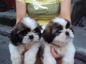 Shih Tzu Puppies For Adoption FOR SALE ADOPTION
