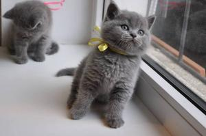 best quality Blue British short hair kittens FOR SALE ADOPTION