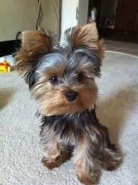 Adorable male and female Yorkie puppies FOR SALE ADOPTION